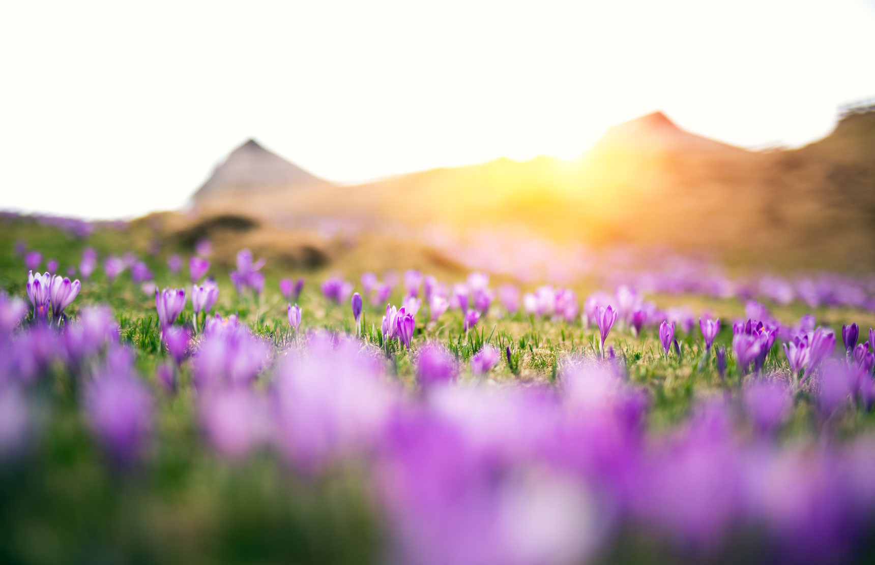 Image Mountain Field with Purple Flowers