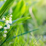 Image of Lily of the Valley